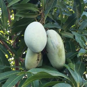 マンゴーの食べ方3選。マンゴーの木を育てる。成長の早さに驚き。
