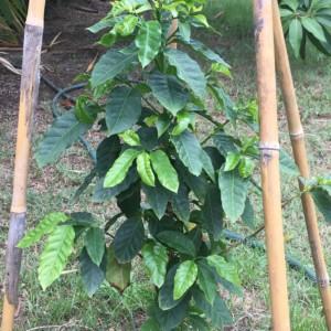 タイでコーヒー木を育て、自家製コーヒー作りを目指す(第一報)。まずは豆引きから。苗木と道具の紹介。