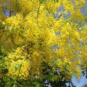 ゴールデンシャワーが花盛りの5月。タイの国の花。