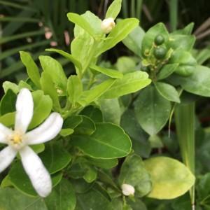タイで育てた金柑の木、連続して実る果実。活用法3選+1。