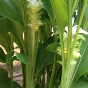 タイでウコン。日本の思い出。ウコンの栽培方法、ウコンの粉の作り方、そして、飲み方。